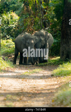 Asian Elephant or Asiatic Elephant or Elephas Maximus herd crossing the road  in Kaziranga National Park Assam India - Stock Photo