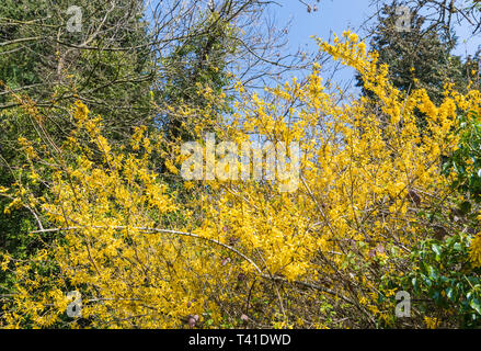 Yellow flowering Forsythia plant in Spring in the UK. - Stock Photo