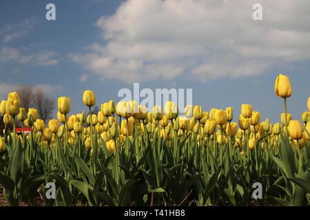 Yellow tulips in rows on flower bulb field in Noordwijkerhout in the Netherlands - Stock Photo