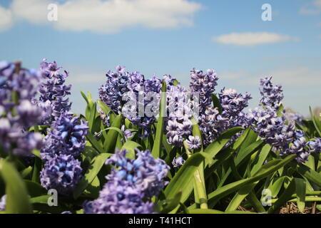 Purple Hyacinths in rows on flower bulb field in Noordwijkerhout in the Netherlands - Stock Photo