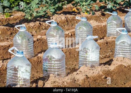Plastic bottles used to protect growing crops at an allotment garden, Valencia Spain - Stock Photo