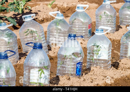 Plastic bottles protecting young plants from morning cold, allotment garden Spain - Stock Photo