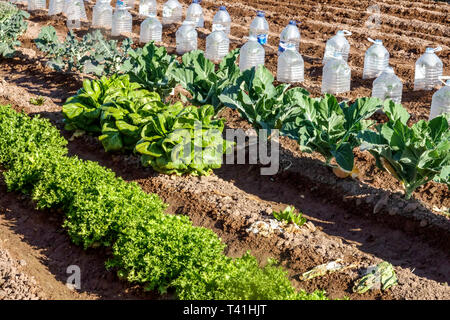 Plastic bottles protecting young plants from morning cold - Stock Photo