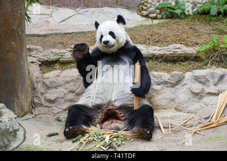 CHIANG MAY, THAILAND - DECEMBER 20, 2018: Giant panda female in Chiang Mai Zoo - Stock Photo