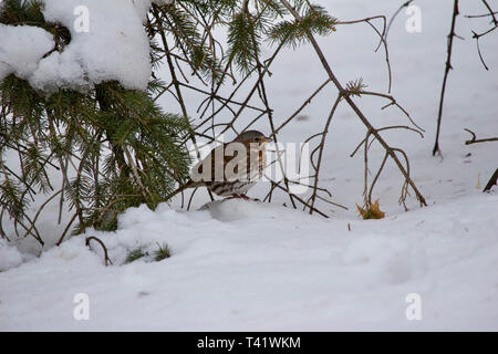 Close up view of a fox sparrow on snow covered ground during a blizzard - Stock Photo