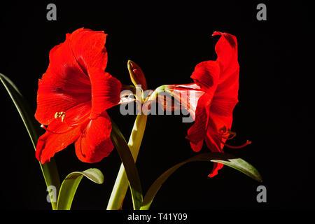 Red Amaryllis Flower on black - Stock Photo