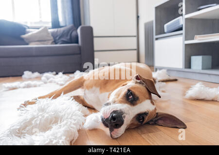 Dog lies among torn pieces of a pillow in a living room. Funny staffordshire terrier and destroyed homeware, untrained dog left alone at home - Stock Photo