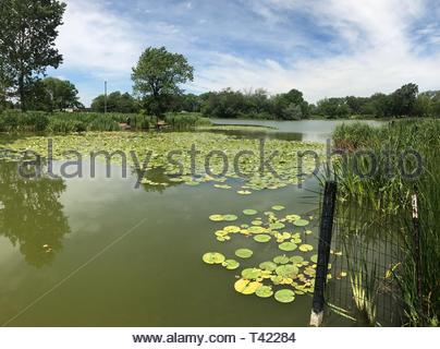water lilies in pond at daytime - Stock Photo