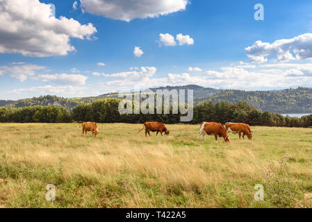 Cows on the summer pasture in Pieniny mountains in Poland. - Stock Photo