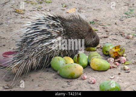 Profile portrait of porcupine with fresh fruit in Cambodia. - Stock Photo