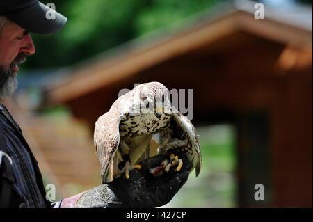 Falconry in action,Falkenhof Harz,Saxony Anhalt,Germany. - Stock Photo