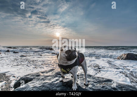 Mousehole, Cornwall, UK. 13th Apr, 2019. UK Weather. Cold winds from the East approaching 50 mph are starting to hit the coast of Cornwall. Seen here Titan the pug back in his winter jacket. Credit: Simon Maycock/Alamy Live News - Stock Photo