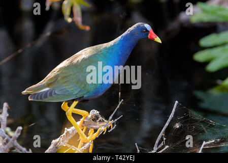 American purple gallinule (Porphyrio martinicus) perched on a branch in Shark Valley, Everglades National Park, Florida, USA - Stock Photo