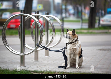 Dog waiting for owner, tied to a bicycle parking rack. A mixed breed dog tied to a bicycle stand waiting for its master - Stock Photo