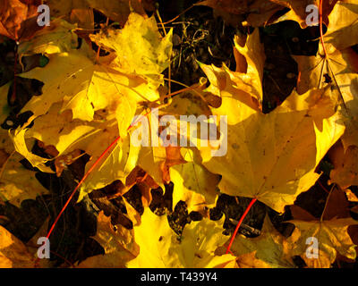 Maple (Acer sp.) Autumn leaves in Westpark, Munich, Bavaria, Germany, Europe - Stock Photo