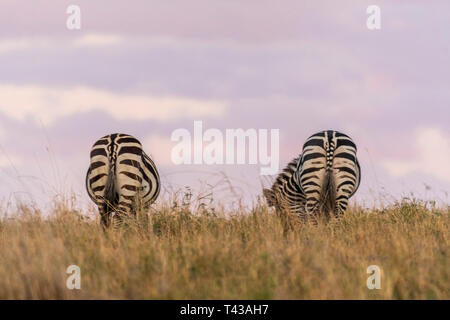 Zebras grazing peacefully at sunrise and beautiful orange sky in the background - Stock Photo
