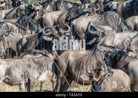 Group of Wildebeest gathering and preparing for crossing river during migration season, Mara triangle - Stock Photo