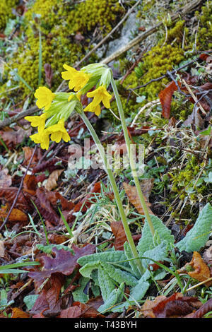 common cowslip, primula veris, plant in blooming - Stock Photo