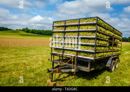Trailer with tobacco sprouts ready for planting - Stock Photo