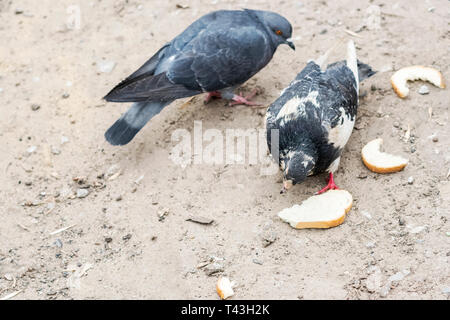 Two pigeons compete for a piece of bread on muddy ground - Stock Photo