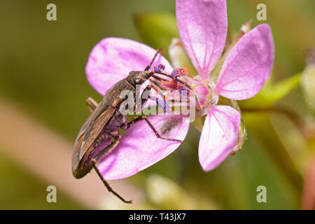 Bug sitting on a pink forest wild flower and feeding on nectar - Stock Photo