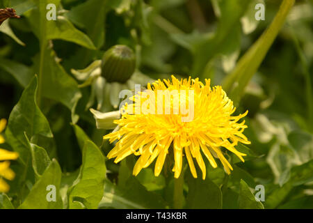 bright yellow glowing dandelions on a green meadow, spring theme with yellow dandelion flowers background also called taraxacum officinale in bloom in - Stock Photo