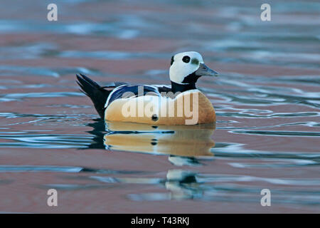 Male Steller's Eider in Batsfjord Harbour Norway in the winter - Stock Photo