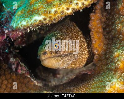 Gymnothorax miliaris - Goldentail morey / - Stock Photo