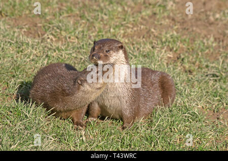 British Europaen Otter Lutra Lutral Captive - Stock Photo