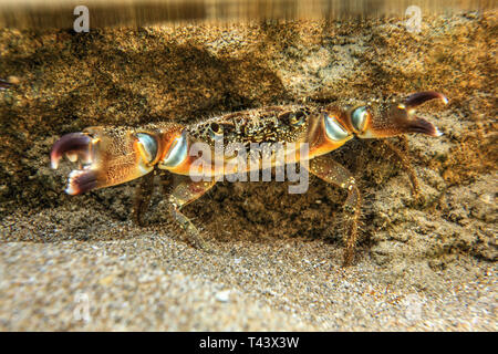 Underwater photo - warty crab (Eriphia verrucosa) standing on sand, hiding under rock in shallow water, chelae (claws) spread. - Stock Photo