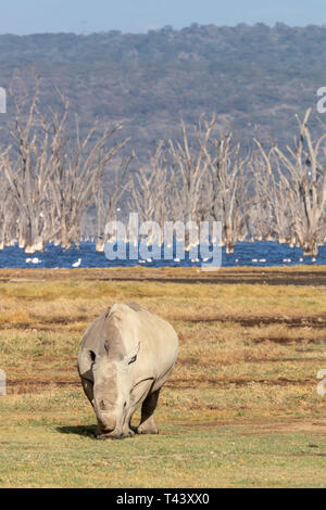 White rhino grazing at the edge of Lake Nakura. The alkaline waters are full of dead trees that were engulfed when the water level increased. - Stock Photo