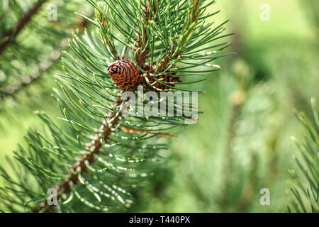Shallow depth of field photo, only small coniferous cone in focus, young green fir tree, sun shines in back. Abstract spring forest background. - Stock Photo