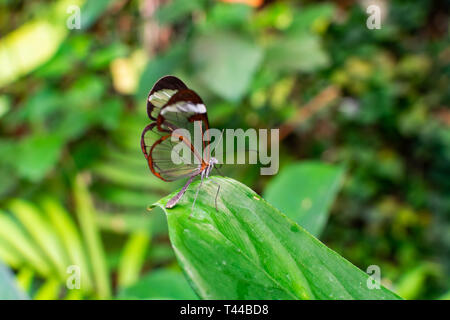 glasswing butterfly (greta oto), on a green leaf, with green jungle vegetation background - Stock Photo