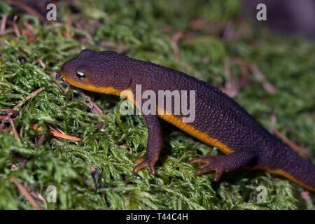 A California newt walks over a carpet of moss sprinkled with fallen Douglas-fir needles.