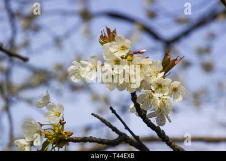 Early apple or cherry blossom on a tree growing wild in a farmland hedgerow near Killyleagh in County Down, Northern Ireland - Stock Photo