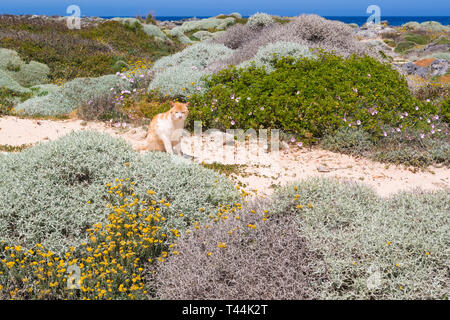 The cat sitting in the dunes and basks in the sun. Stavros beach on Crete island, Greece. - Stock Photo