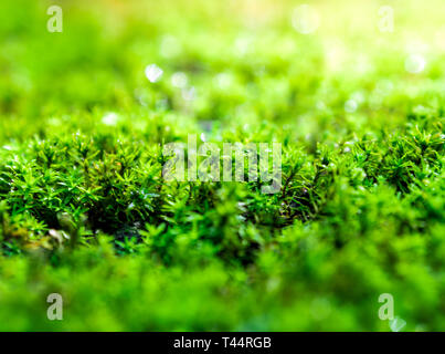 Close-up of freshness green moss growing covered on stone floor with water drops in the sunlight, selective focus - Stock Photo