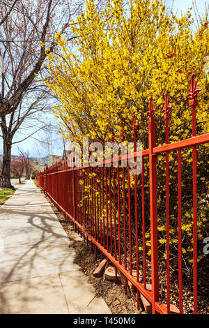 Reddish color wrought iron picket fence; blooming forsythia bush; Salida; Colorado; USA - Stock Photo