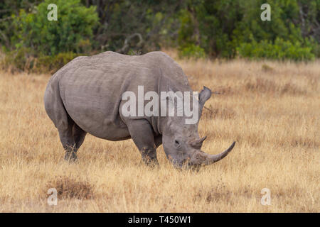 White rhinoceros, Ceratotherium Simum, large horn. Ol Pejeta Conservancy, Kenya, East Africa. Oxpecker bird in rhino ear - Stock Photo