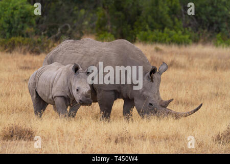 White Rhinoceros, mother and baby calf, side by side. Bird in rhino's ear. Ol Pejeta Conservancy, Kenya, East Africa. African safari big five animals - Stock Photo