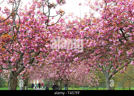 London, UK. 13th Apr, 2019. Famous Cherry Blossom avenue seen in full bloom at the Greenwich park. Credit: Keith Mayhew/SOPA Images/ZUMA Wire/Alamy Live News - Stock Photo