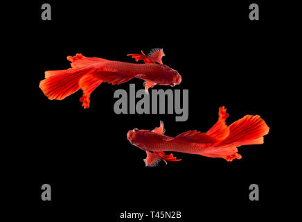 Red color Siamese fighting fish(Rosetail),fighting fish,Betta splendens,on black background with clipping path,Betta Fancy Koi Half Moon Plakat - Stock Photo