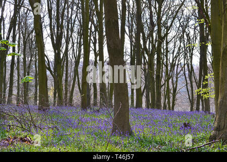 Early April bluebells in Meenfield wood, Shoreham, Kent, England. Theses were among the first bluebells to flower in SE England in 2019 - Stock Photo