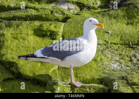 Western Gull (Larus occidentalis) perched on a cliff. - Stock Photo