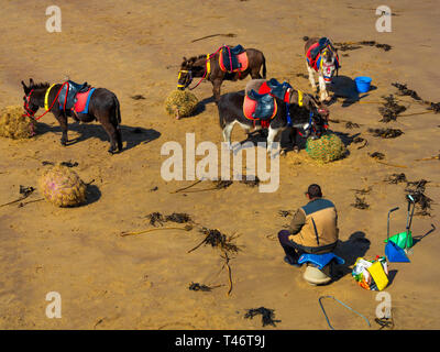 Donkey man on Whitby West Beach with his donkey's enjoying a rest and a feed of fresh hay - Stock Photo