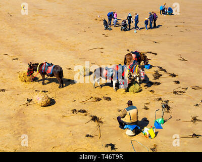 Donkey man on Whitby West Beach with his donkey's enjoying a rest and a feed of fresh hay with families passing - Stock Photo