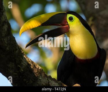 Toucan Costa Rica, Chestnut Mandibled Toucan, Drake Bay, Osa Peninsula wildlife. Ramphastos ambiguus swainsonii - Stock Photo