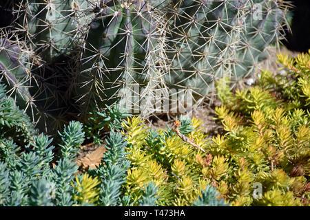 Barrel Cactus & Portulaca - Stock Photo