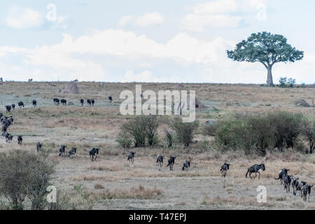 Wildebeest and zebras crossing dry land during migration season in Maasai Mara - Stock Photo