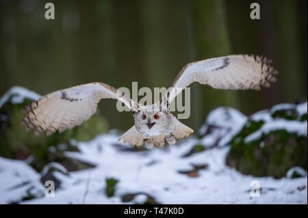 Flying western siberian eagle owl in the forest - Stock Photo
